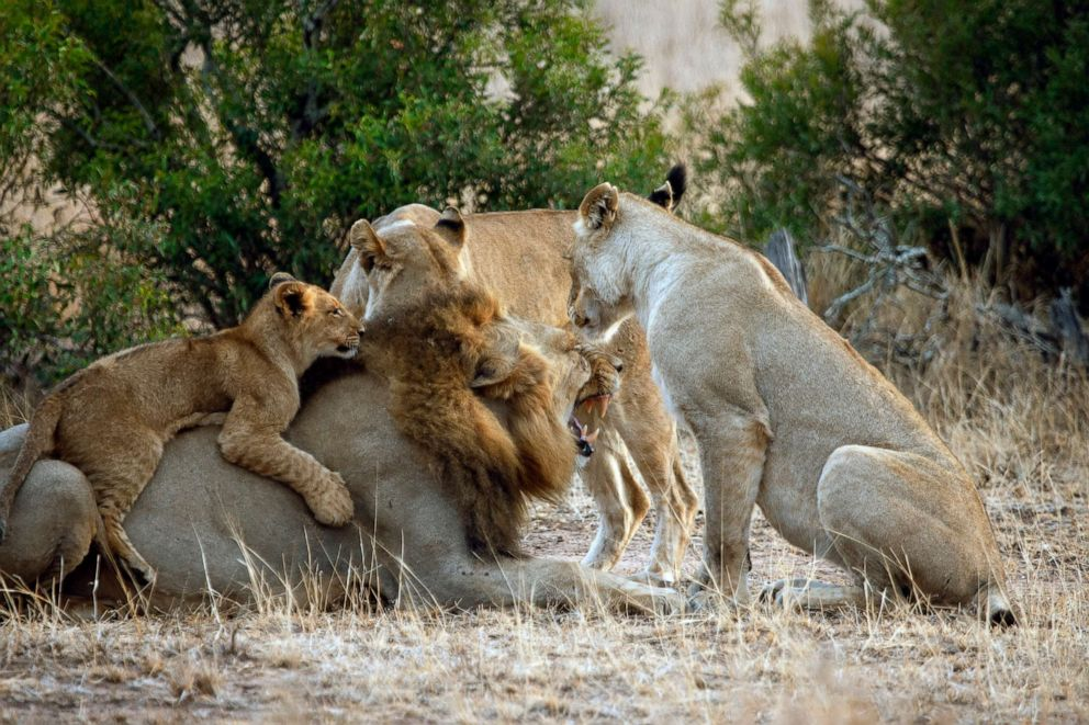 PHOTO: A pride of lions is seen in Kruger National Park, South Africa, in 2015.