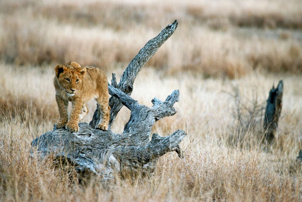 PHOTO: A lion cub is seen in Kruger National Park, South Africa.