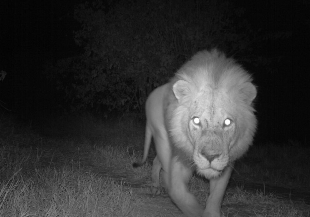 PHOTO: A night camera captures a male lion in Limpopo National Park, Mozambique.