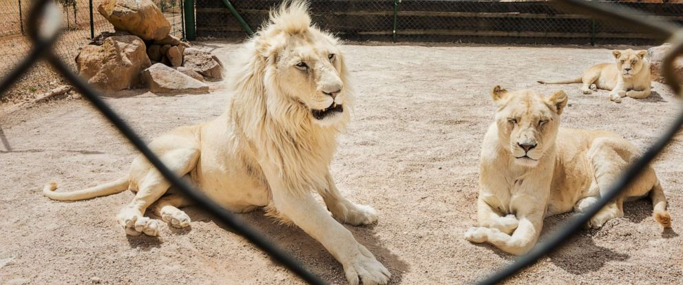 PHOTO: Lions sit in a cage on a lion breeding farm outside of Wolmaransstad, South Africa on Sept. 31, 2012.