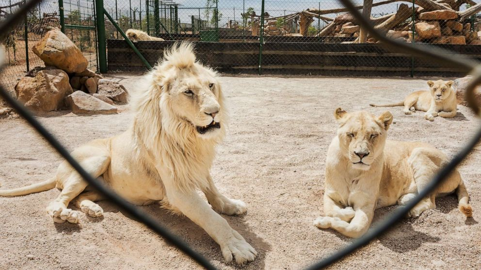 'Lions are on the menu now': Inside the legal lion bone trade