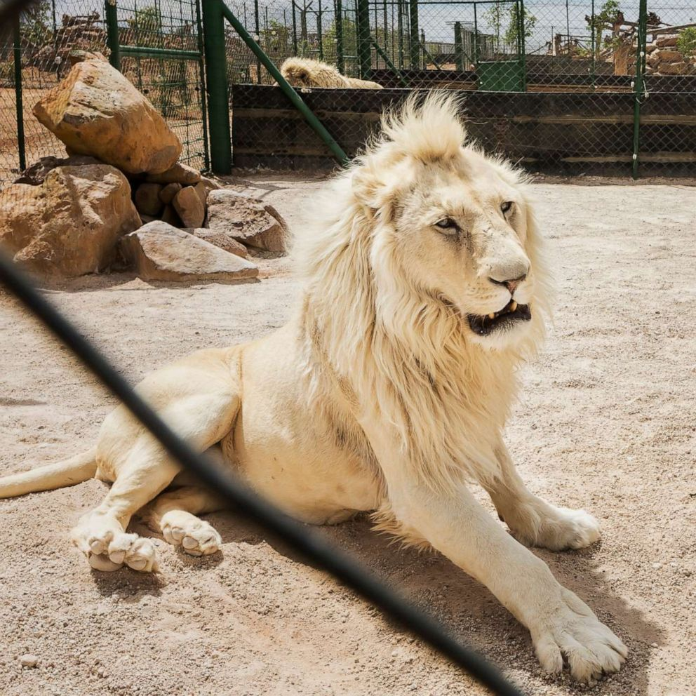 Lions Are On The Menu Now Inside The Legal Lion Bone Trade Abc News