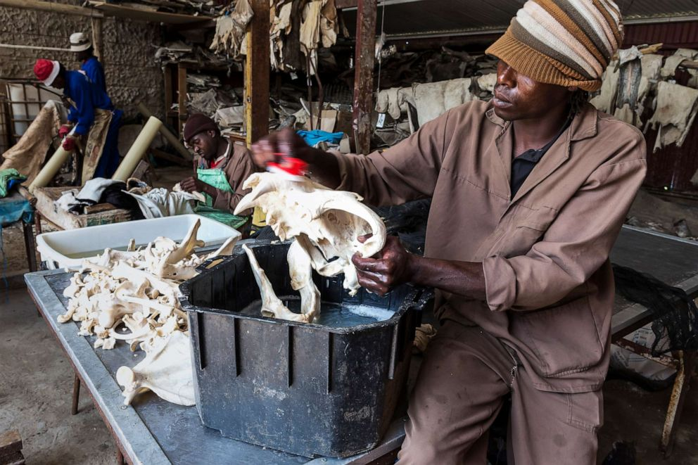 PHOTO: A worker cleans lion bones with a combination of water and peroxide at a taxidermist in the Orange Free State, South Africa on Oct. 10, 2012.