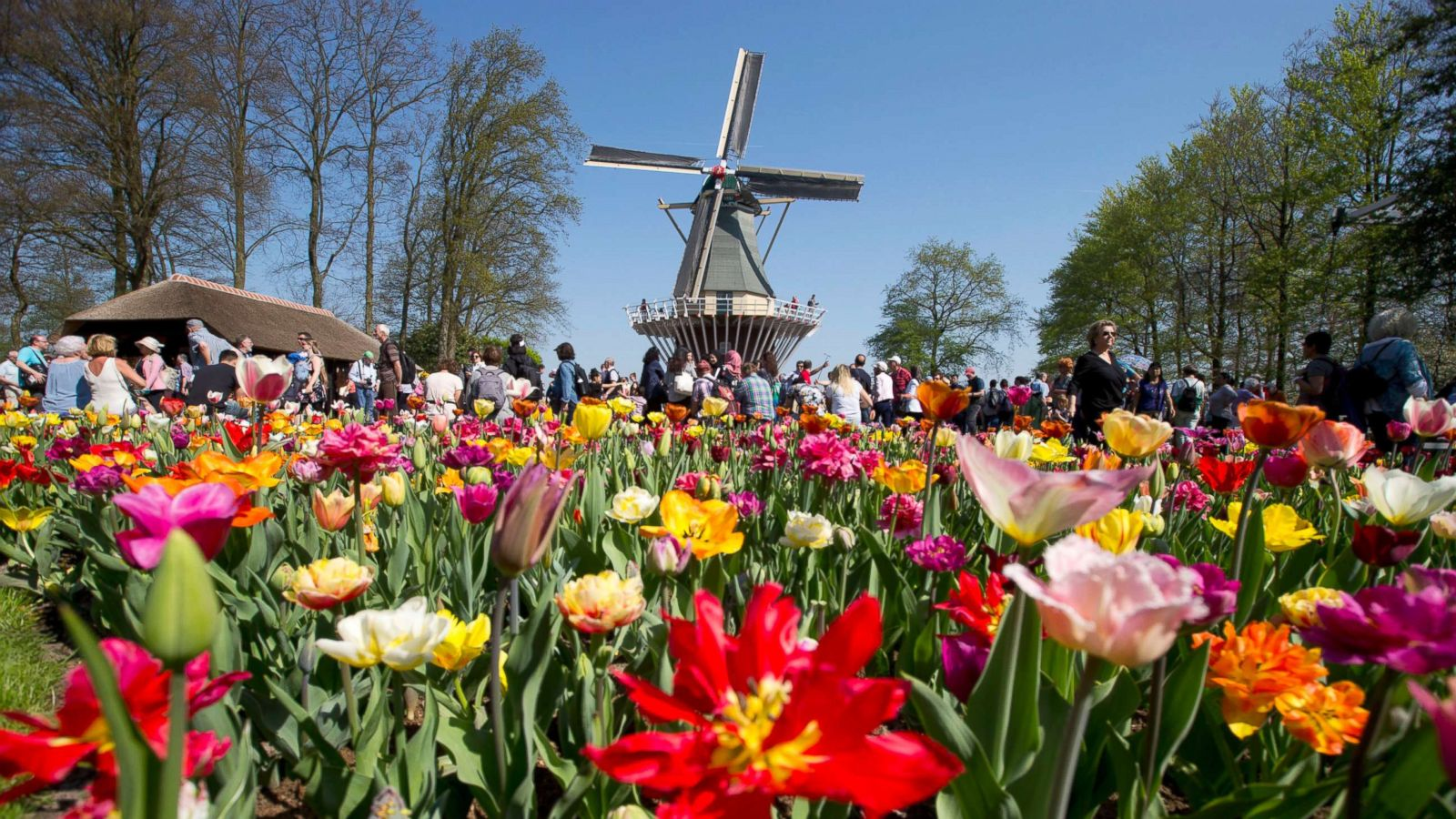 the 'garden of europe' is in full bloom in the netherlands - abc news