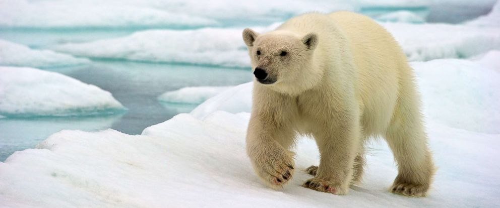 PHOTO: In this file photo, a polar bear wanders the sea ice off the coast of Nordaustlandet, Svalbard, Norway, Sept. 28, 2011.