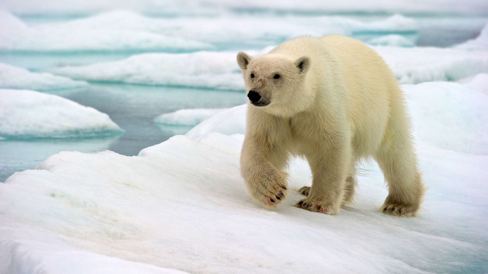 What natural zone does the polar bear inhabit? Peculiarities of distribution and survival 83