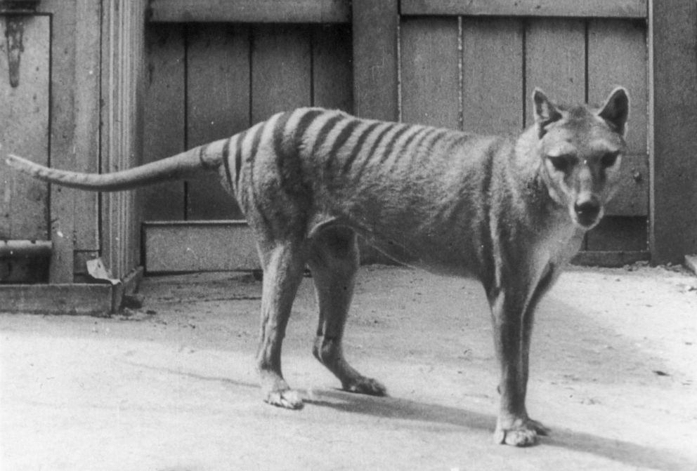 PHOTO: An archival photo of a Tasmanian tiger.