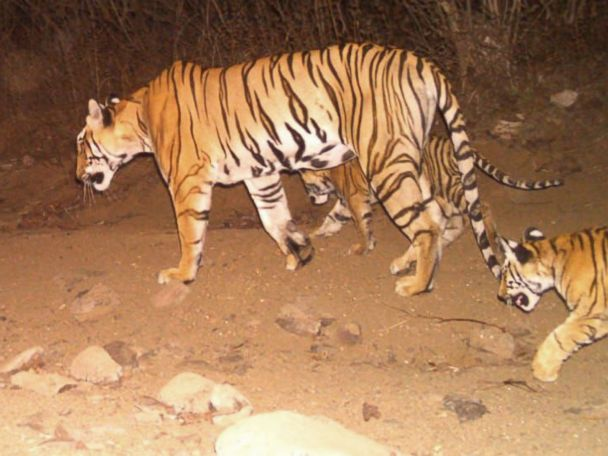 Elephants, drones and cologne employed in hunt for tiger blamed in 13 deaths