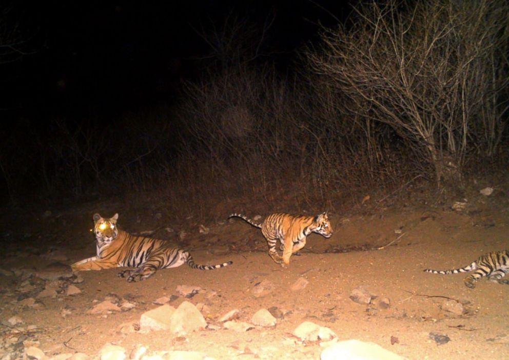 PHOTO: Authorities in Yavatmal, India, are searching for a 6-year-old female tiger, named T1 and photographed by a camera trap, believed to be responsible for the deaths of 13 people.