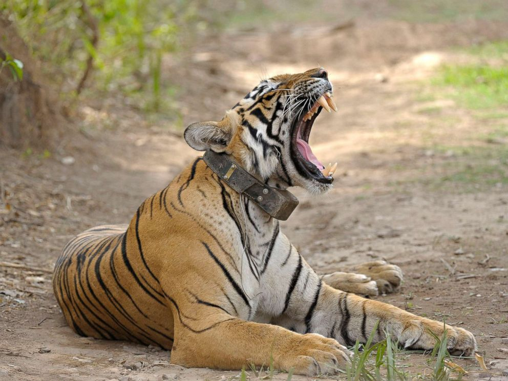 PHOTO: A radio collared Bengal tiger can be seen yawning at Ranthambhore national park, one of the largest and most famous national parks on April 16, 2010 in Rajasthan, India.