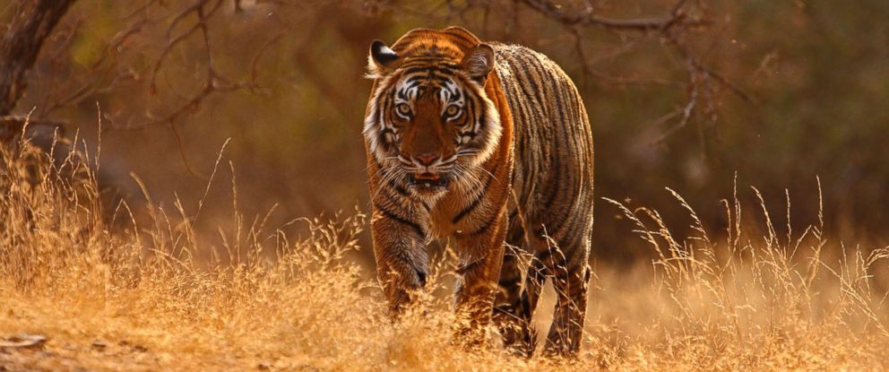 PHOTO: A tiger photographed in Ranthambore National Park in Rajashthan, India. Zoological Society of London is helping to save the big Indian cats whose numbers are dwindling drastically.