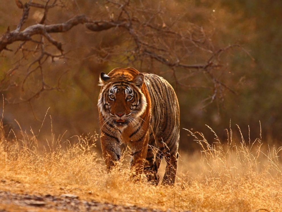 Tiger census': Largest survey of wildlife in the world kicks