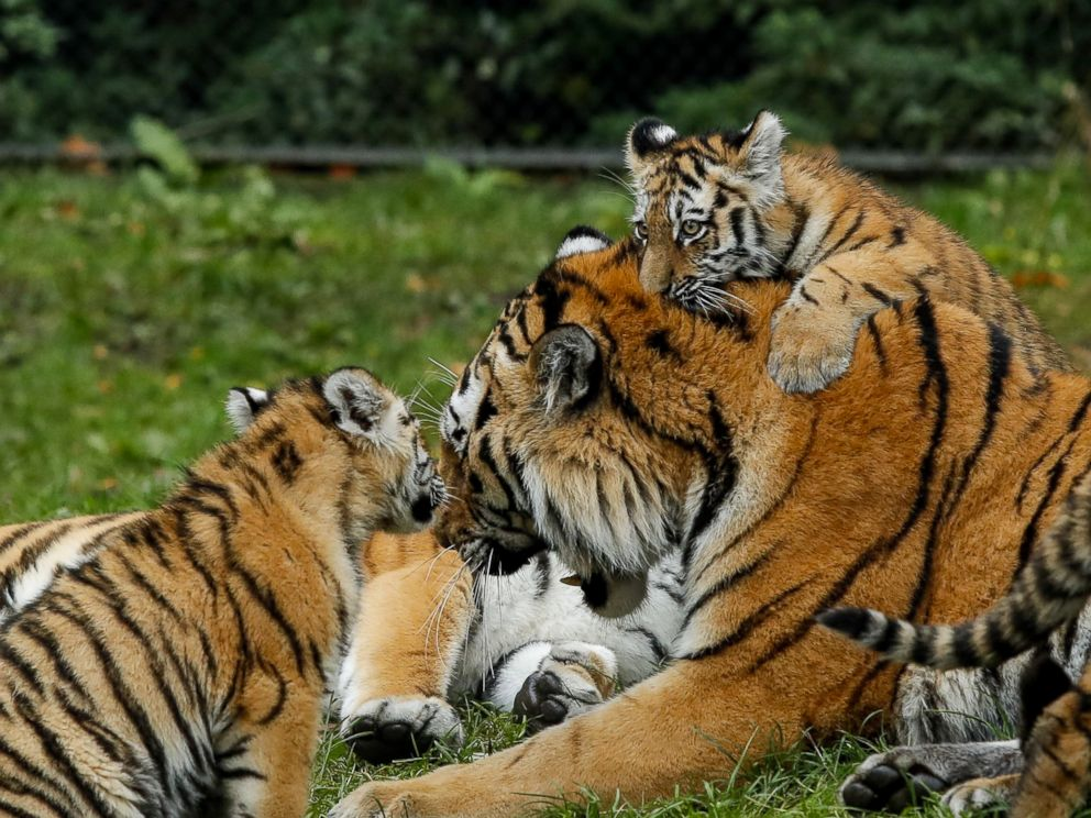 PHOTO: Tiger cubs jump on their father at the Hagenbeck Zoo in Hamburg, Germany, Oct. 26, 2017.