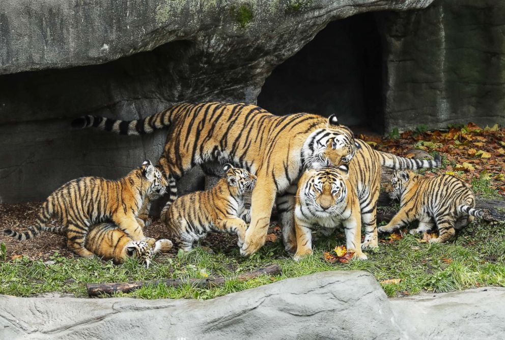 Adorable tiger cubs meet their dad for the 1st time - ABC News