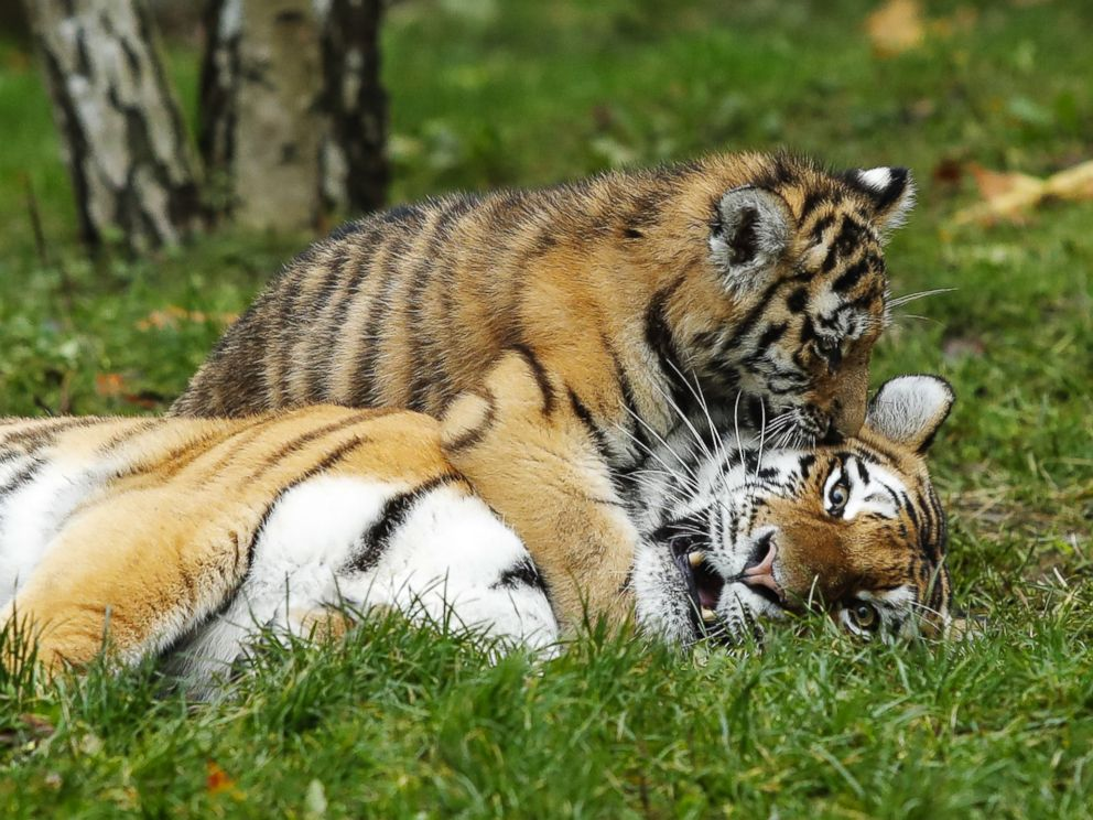 adorable tiger cubs meet their dad for the 1st time abc news
