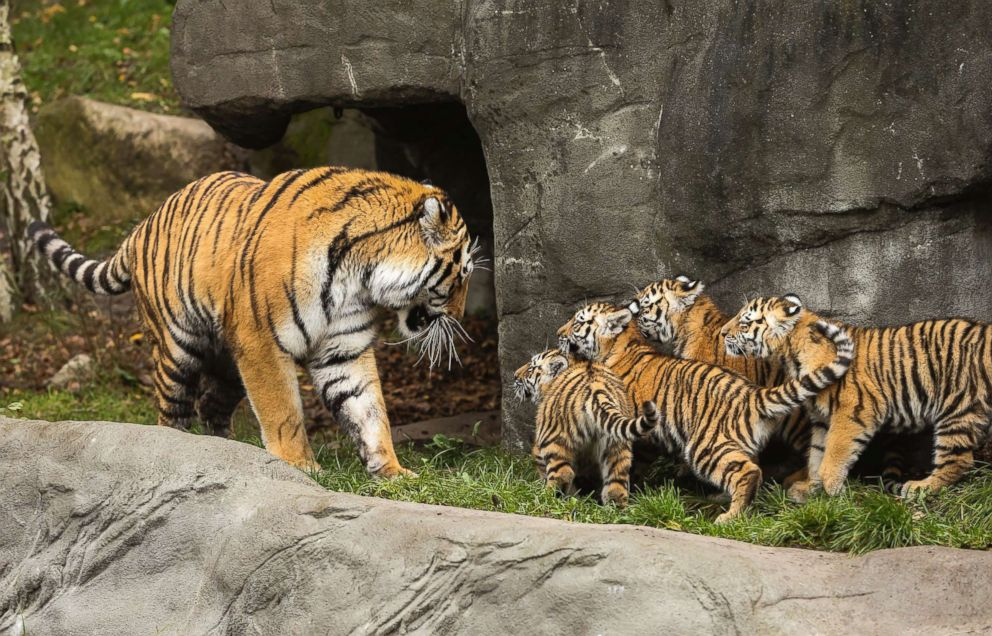 PHOTO: Four-and-a-half-month-old tiger cubs meet their father, Yasha, at the Hagenbeck Zoo in Hamburg, Germany, Oct. 26, 2017.