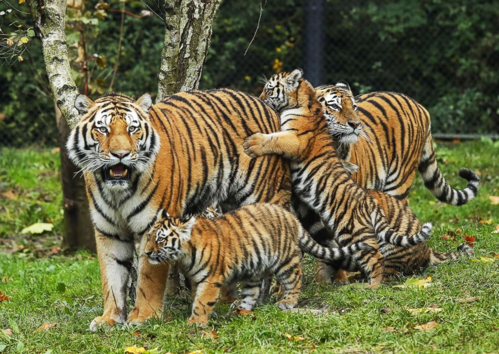 PHOTO: Tiger cubs meet their father, Yasha, for the first time at Hagenbeck Zoo in Hamburg, Germany, Oct. 26, 2017.