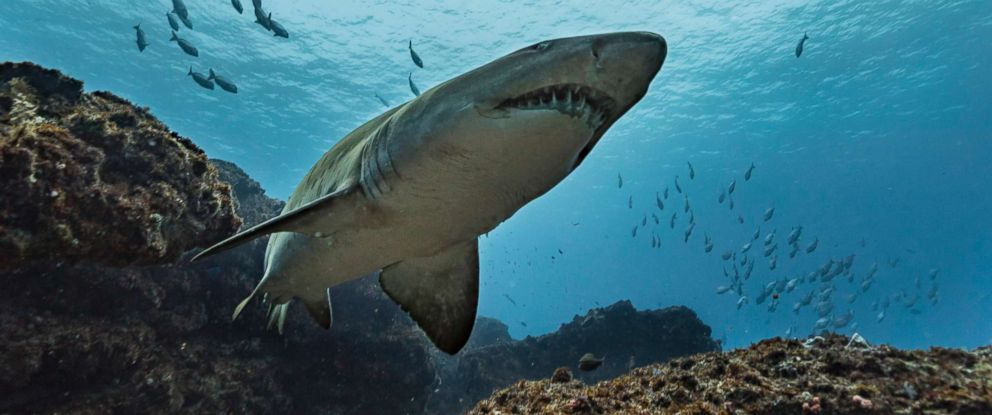 PHOTO: A tiger shark is pictured in this undated stock photo.
