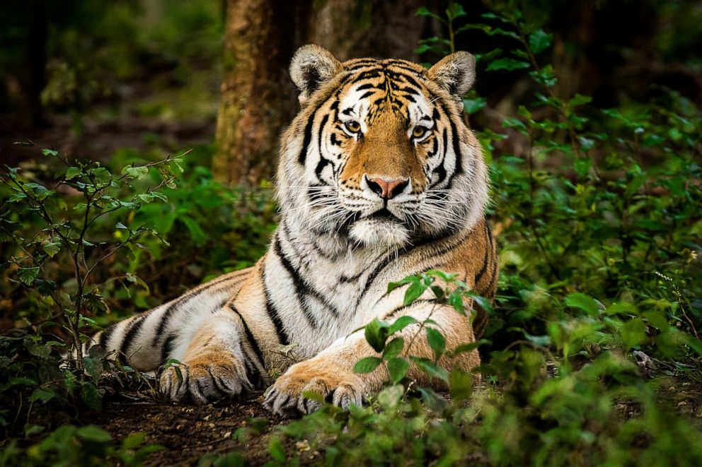 PHOTO: A tiger lays in a forest in this stock photo.