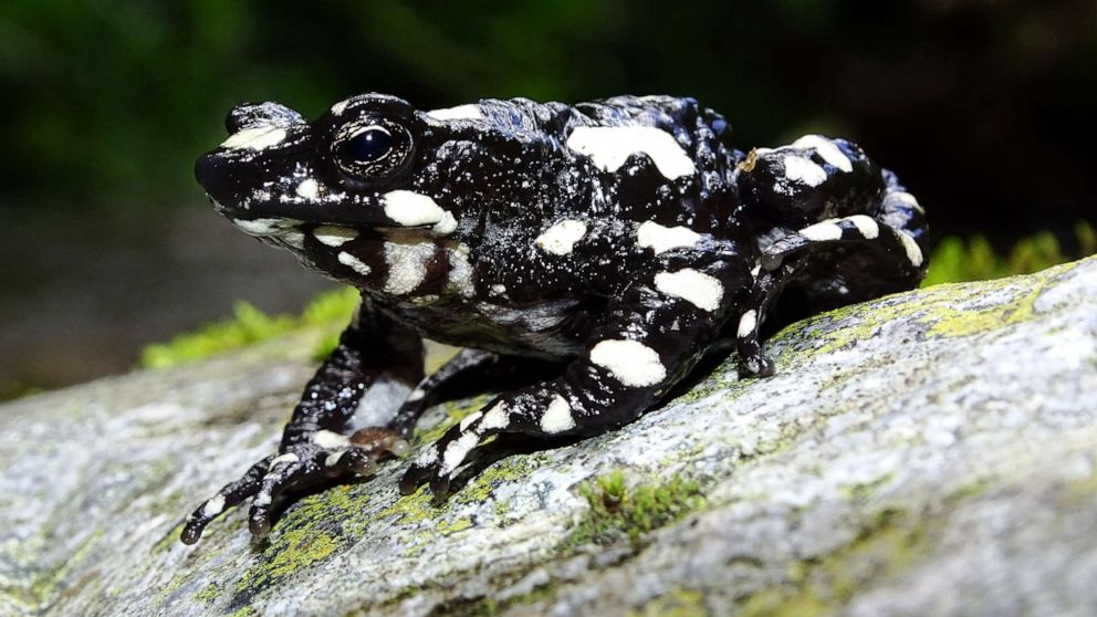 'Starry night' toad rediscovered in Colombia after nearly 3 decades