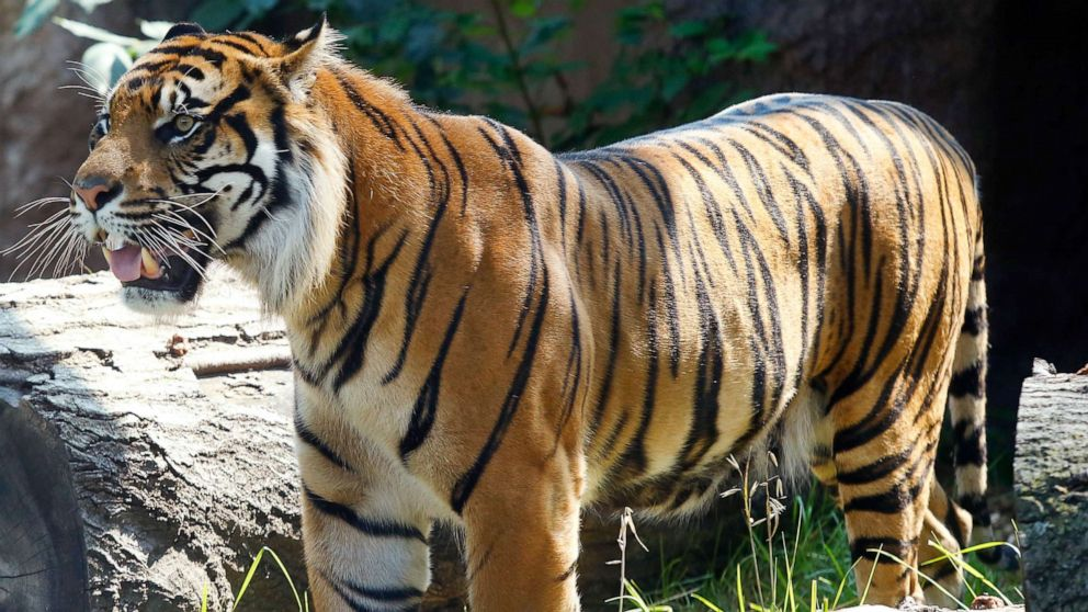 A tiger attacked a zookeeper at the zoo in Topeka, Kansas