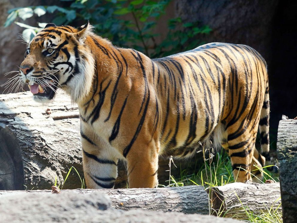 PHOTO: Sanjiv, the Topeka Zoos new Sumatran tiger, roams around his exhibit after being allowed in it for the first time on Thursday Aug. 10, 2017 in Topeka, Kan.