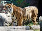 Tiger attacks keeper at zoo