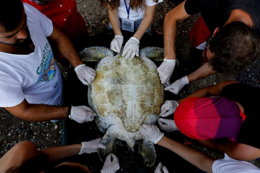 PHOTO: An injured sea turtle is examined by Sea Turtle Rescue Center officials upon her arrival to the center at Iztuzu Beach near Dalyan, Turkey, July 18, 2018.