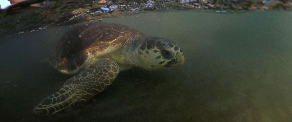 PHOTO: A sea turtle swims back to the sea following her release after treatment at the Sea Turtle Rescue Center (DEKAMER) as tourists look on at Iztuzu Beach near Dalyan in Mugla, Turkey, Aug. 25, 2018.