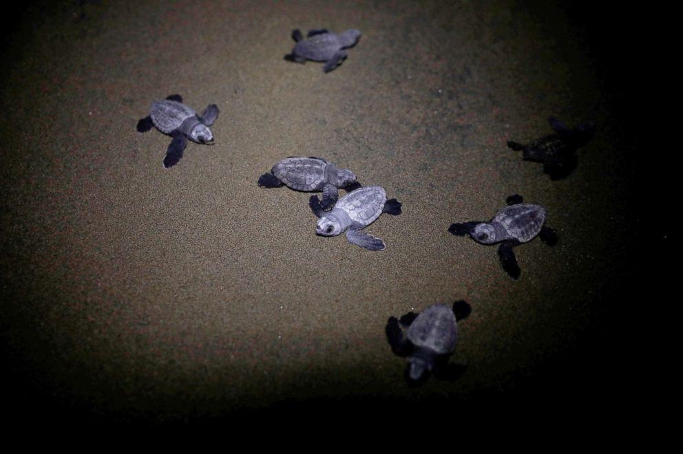Baby sea turtles crawl to the sea at Iztuzu Beach near Dalyan, Turkey, July 17, 2018.
