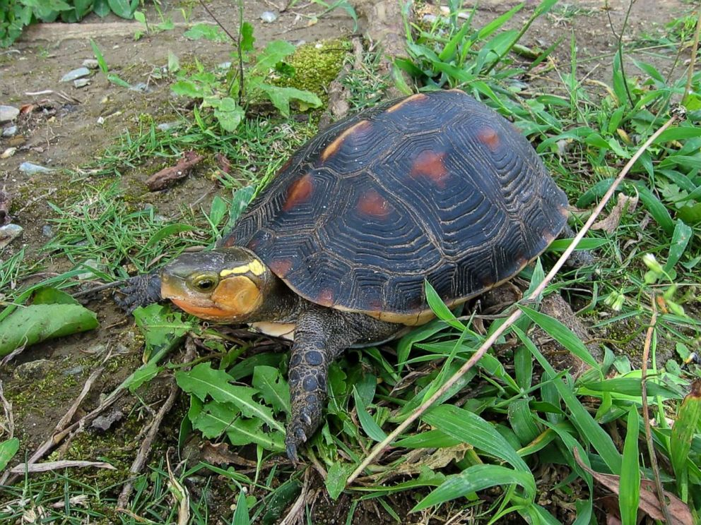PHOTO: A yellow-margined box turtle at Okinawa Zoo in 2004 in Japan. More than 60 endangered turtles, including some 15 Ryukyu leaf turtles and 49 yellow-margined box turtles, have disappeared from a zoo in Japan in a suspected theft.