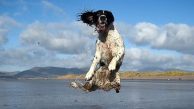PHOTO: A dog jumps into the air to catch a ball along the beach near the County Kerry village of Rossbeigh, Ireland, Feb. 4, 2018.