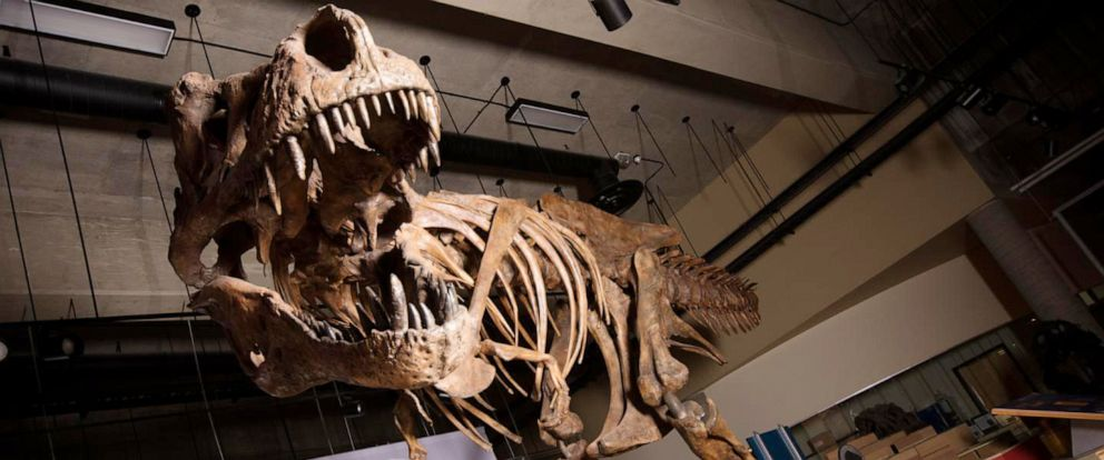 "PHOTO:The towering and battle-scarred ""Scotty""reported by UAlberta paleontologists is the worlds largest Tyrannosaurus rex and the largest dinosaur skeleton ever found in Canada."