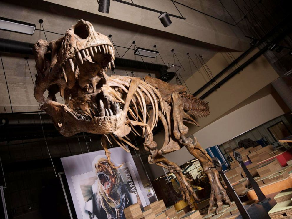 PHOTO:The towering and battle-scarred Scottyreported by UAlberta paleontologists is the worlds largest Tyrannosaurus rex and the largest dinosaur skeleton ever found in Canada.