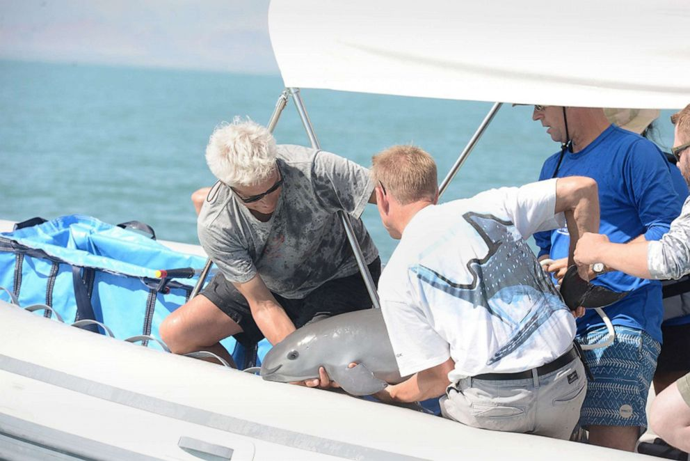 PHOTO: Scientists return a vaquita, a tiny stubby-nosed porpoise on the verge of extinction, into the ocean as part of a conservation project, in the Sea of Cortez, Baja California, Mexico, Oct.18, 2017.