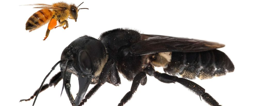 PHOTO: This undated handout photomontage provided by Global Wildlife Conservation, Feb. 21, 2019, shows a living Wallaces giant bee (Megachile pluto) which is approximately four times larger than a European honeybee, after it was rediscovered in Indonesia