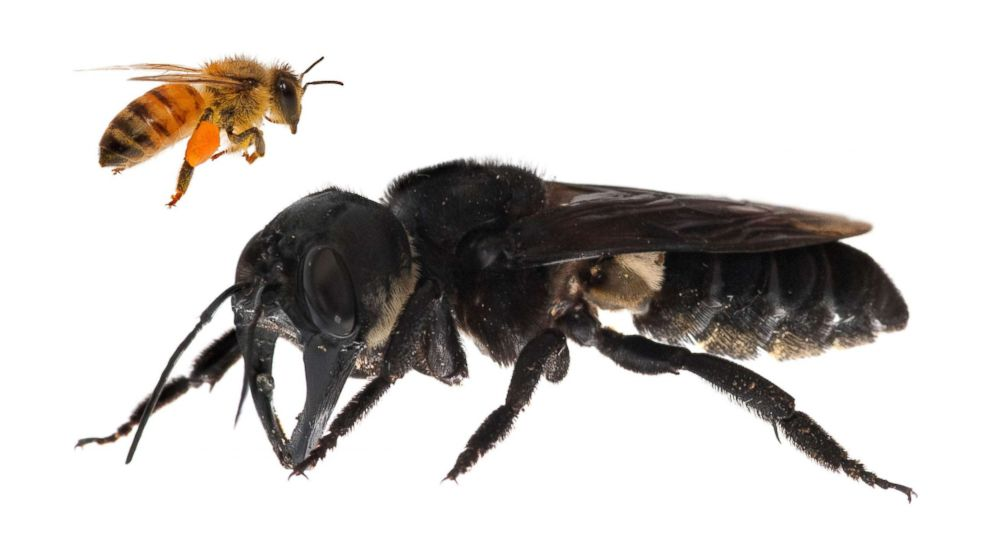 World's largest bee photographed after vanishing for decades thumbnail