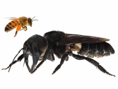 Worlds largest bee photographed after vanishing for decades