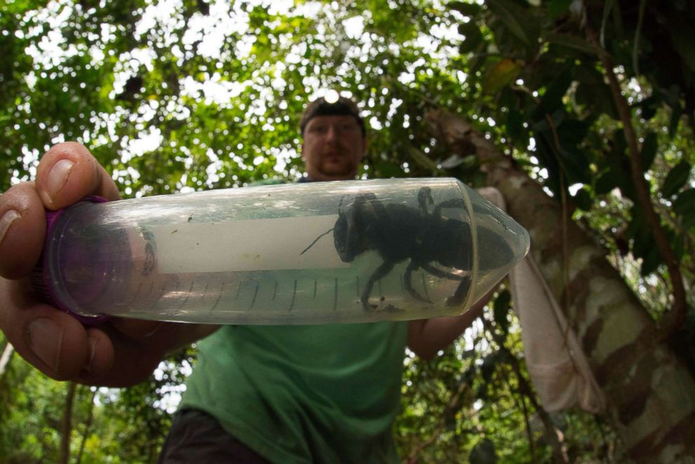PHOTO: This undated handout picture provided by Global Wildlife Conservation, Feb. 21, 2019, shows entomologist and bee expert Eli Wyman with the first rediscovered individual of Wallaces giant bee (Megachile pluto) in Indonesia.