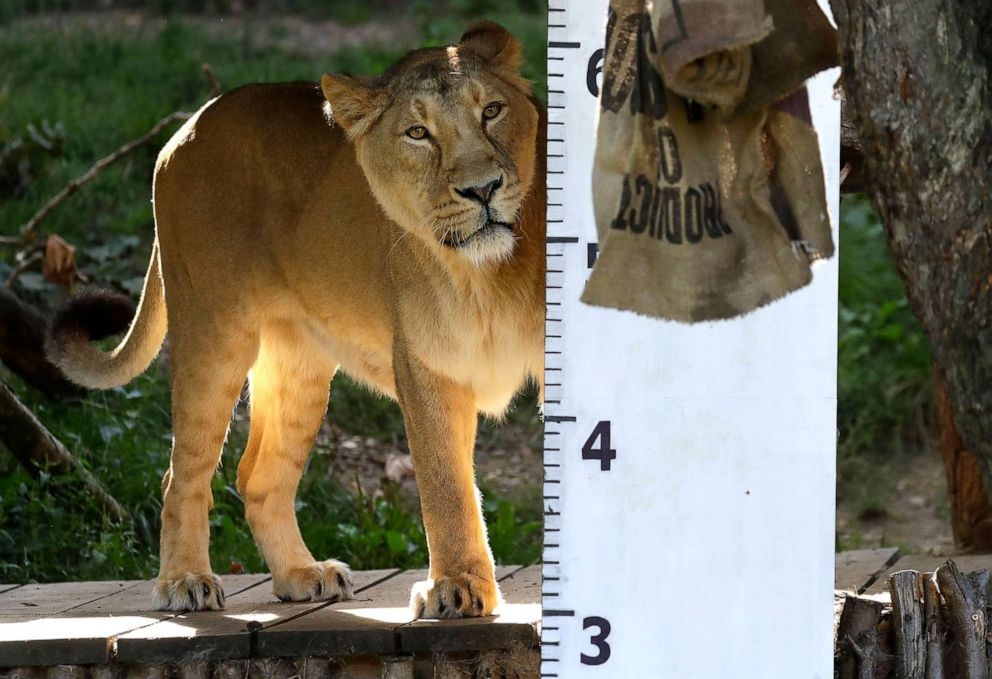 PHOTO: An Asiatic lioness during the Zoos annual weigh-in, in London, Aug. 22, 2019.