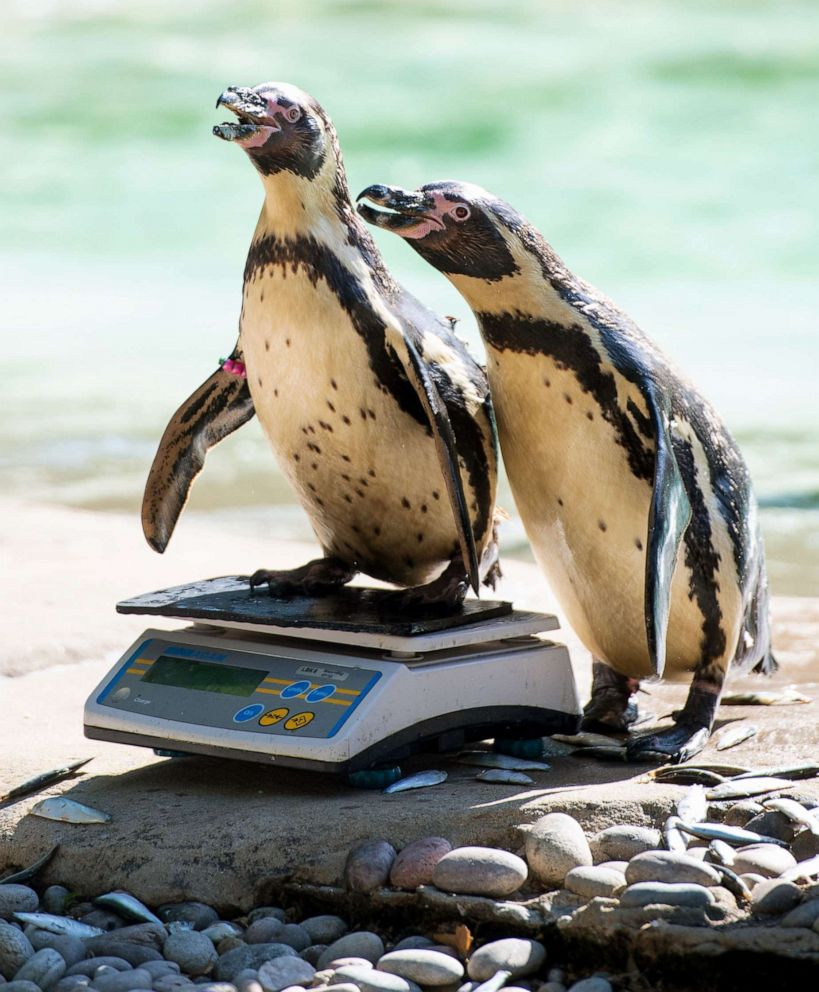 PHOTO: Humboldt Penguins stand on a set of scales during the annual weigh-in at ZSL London Zoo, London, Aug. 22, 2019.