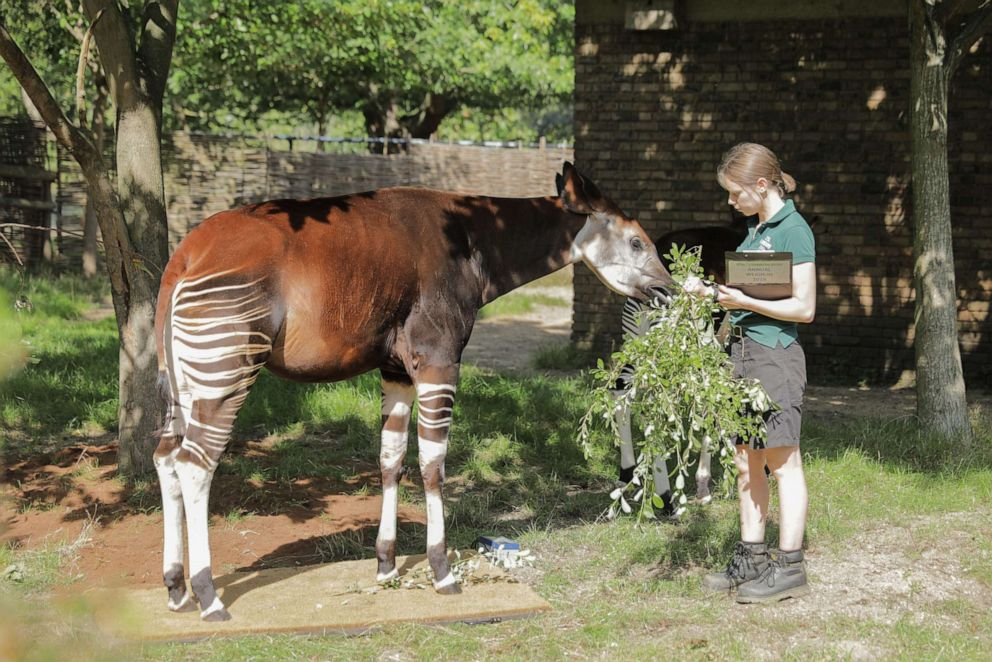 PHOTO:Oni the Okapi during his weigh-in at the London Zoo, Aug. 22, 2019.