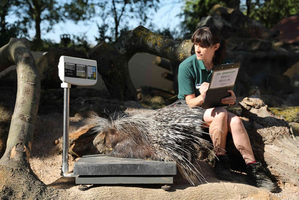 PHOTO:London Zoo employee Chelsea Reid-Johnson weighs Nancy the porcupine on a scale during a photo call at London Zoo on Aug. 22, 2019.