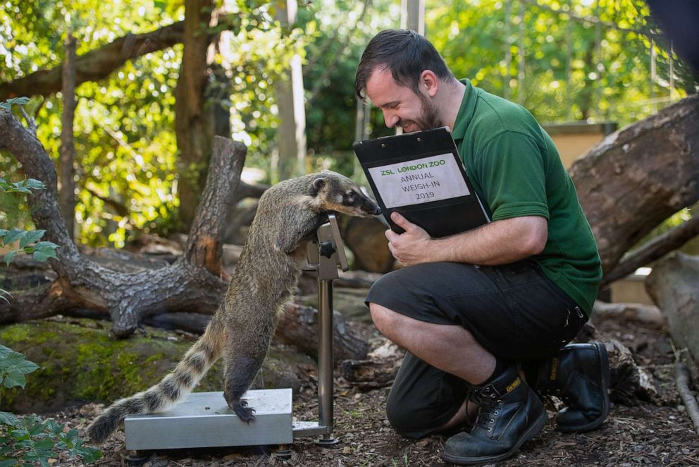 PHOTO: Zookeeper Liam weighs Brush the Coati during the annual weigh-in at ZSL London Zoo, London, Aug. 22, 2019.