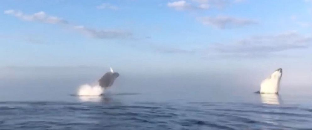 PHOTO: Boat riders got a special show from a group of whales that preformed rare outstanding stunts like twirling in the air and spinning before landing back in the water.
