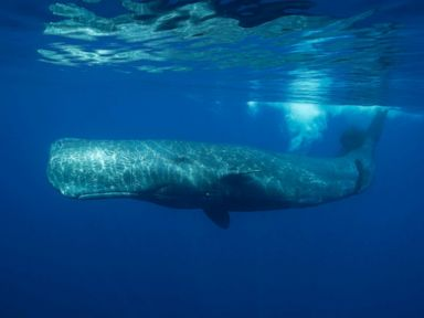 Dead sperm whale had plastic in its stomach, Greenpeace says