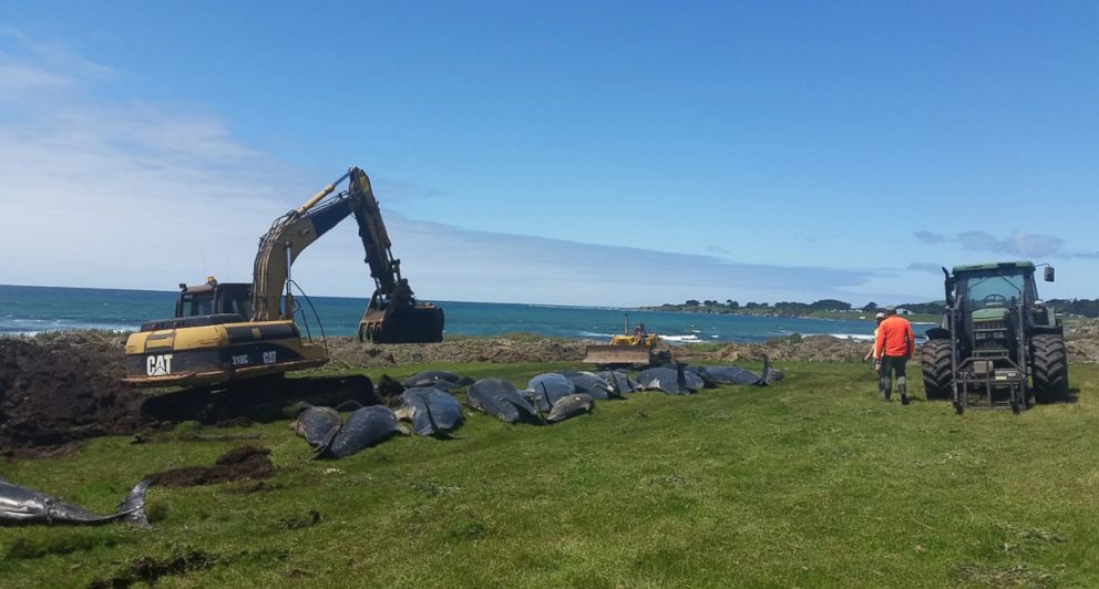 Department of Consevation Over 80 pilot whales were stranded off the coast of the Chatham Islands in New Zealand Nov. 30 2018