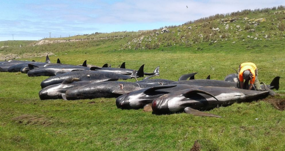 Dozens of whales dead in latest New Zealand stranding