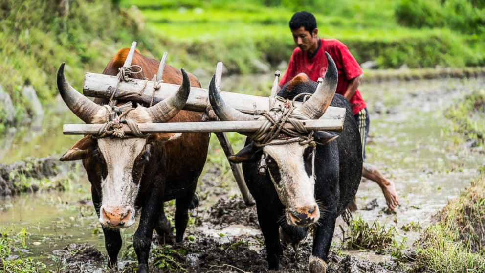 PHOTO: A farmer in the Punakha Valley tills a flooded rice patty in the same way that its been done for hundreds of years: water buffaloes.