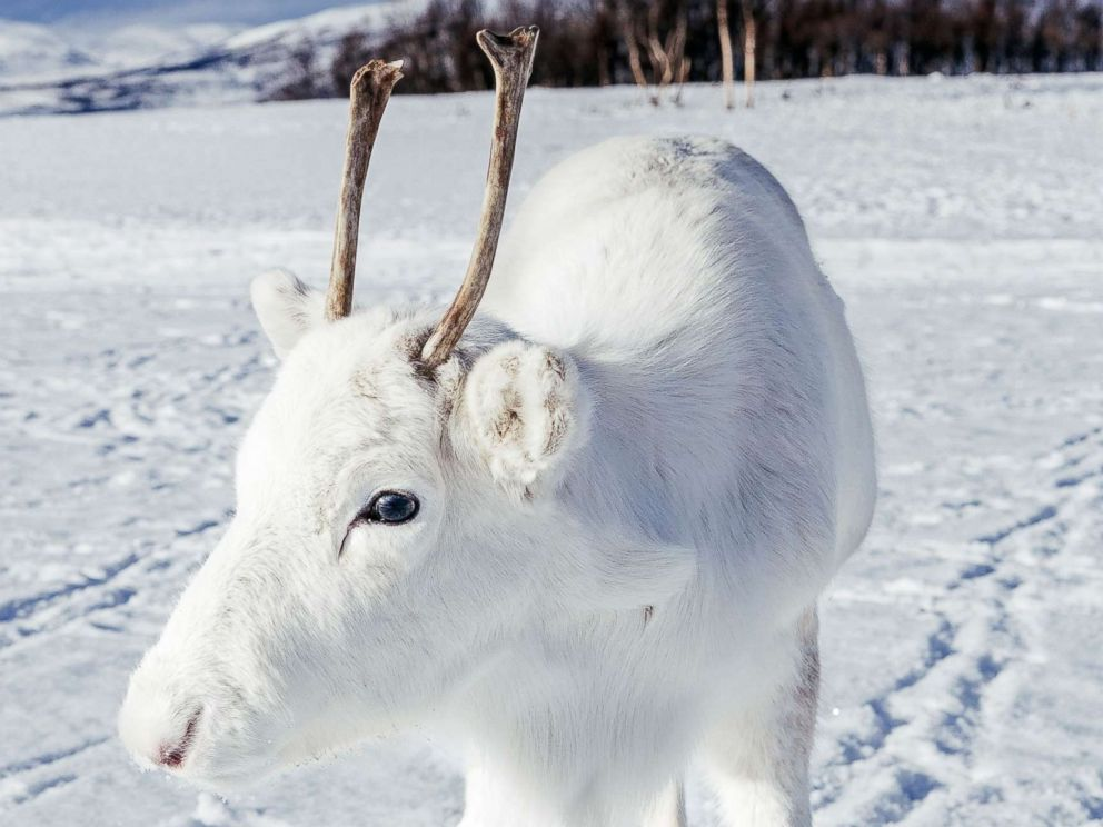 PHOTO: Photographer Mads Nordsveen was hiking in Northern Norway when he encountered a baby white reindeer, Dec. 3, 2018.